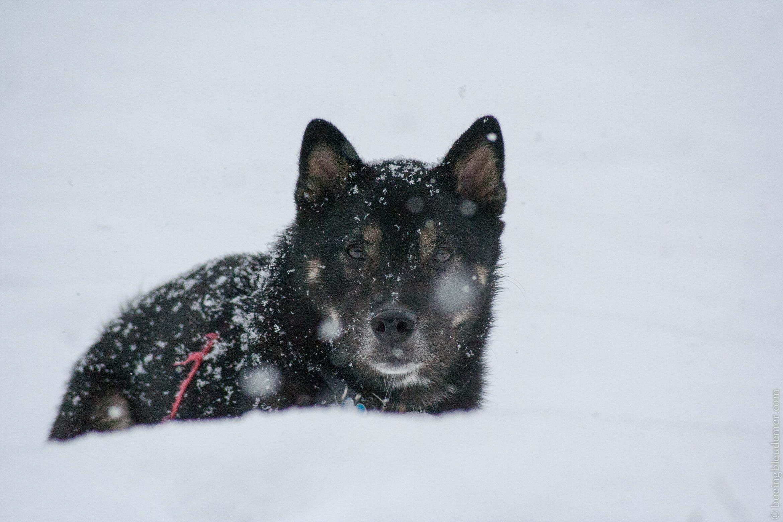 Akira comme un petit renard des neiges