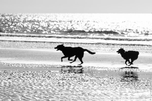 Deux chiens courant sur une plage de Normandie, France