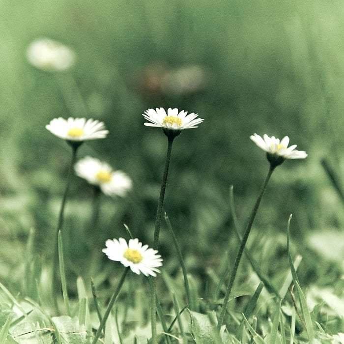 Marguerites dans le champ