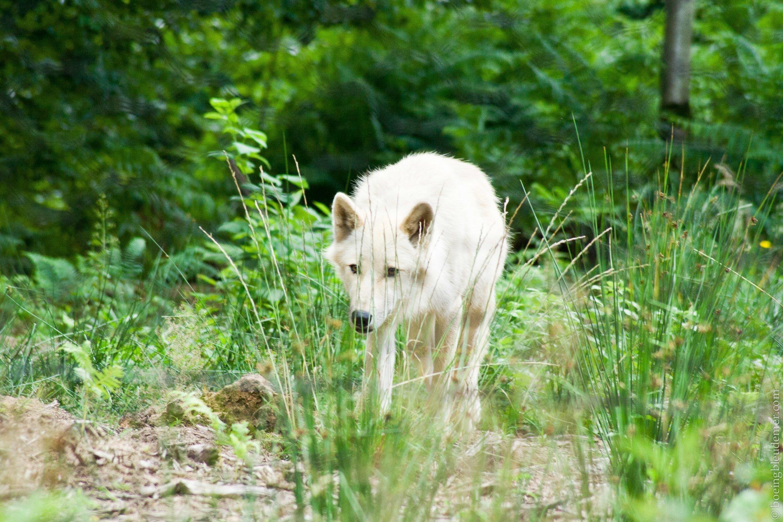 Wolfspark, le parc des loups en Allemagne