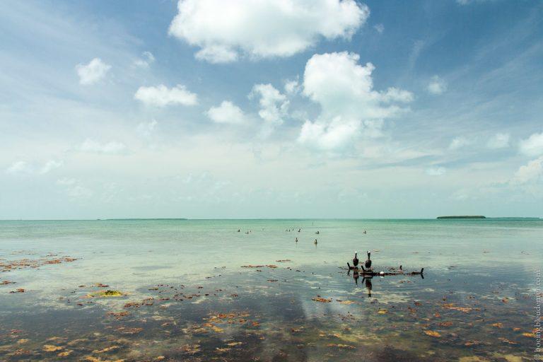 Pélicans dans les Keys de Floride, USA