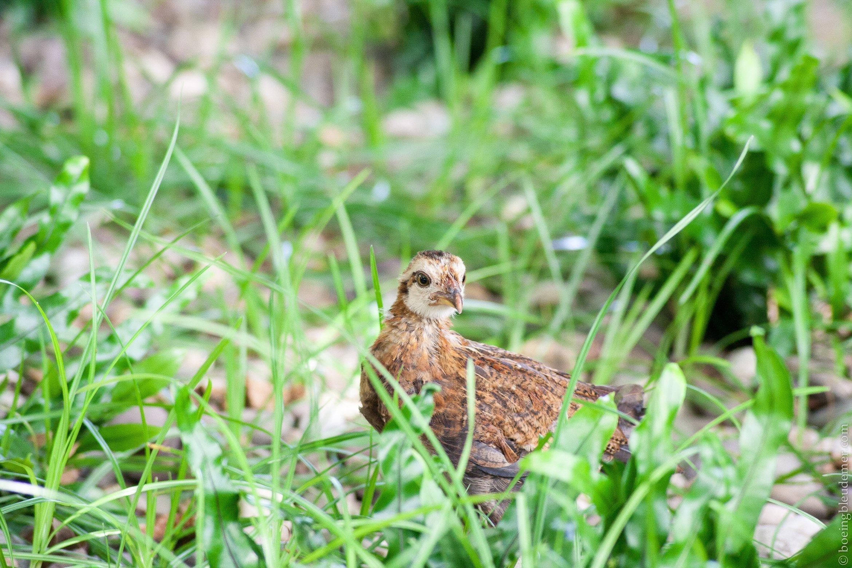 Key West, poule sauvage