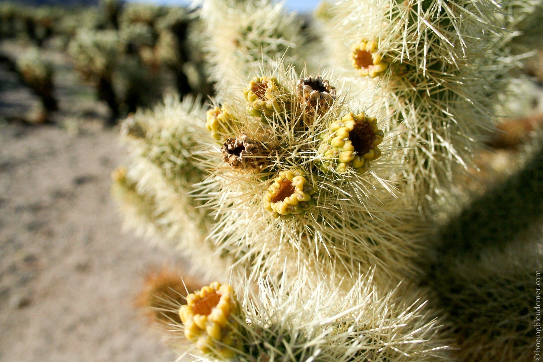 Le cactus teddy-bear cholla