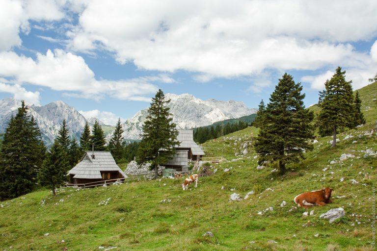 Paturage dans les Alpes juliennes, Slovénie