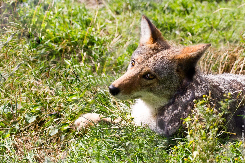 Coyote en Abitibi