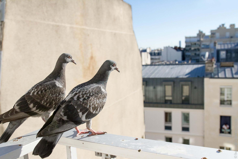Jeunes pigeons prêts pour leur départ du nids
