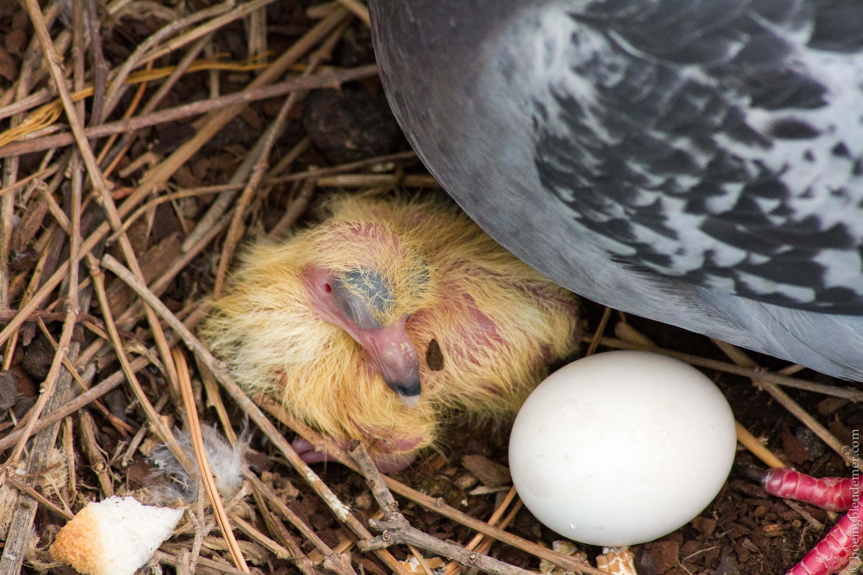 Premier pigeon né le 29 juin 2013