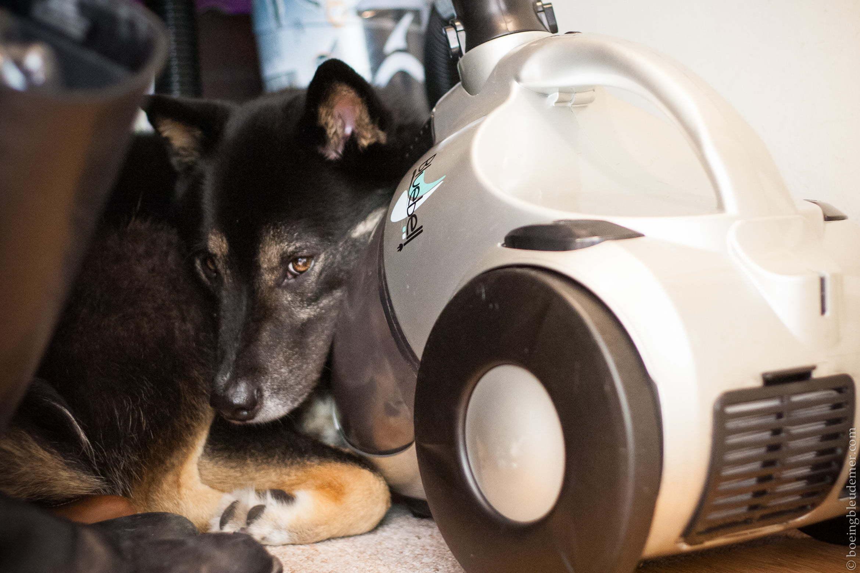 cette cr ature mythique le chien d 39 appartement. Black Bedroom Furniture Sets. Home Design Ideas