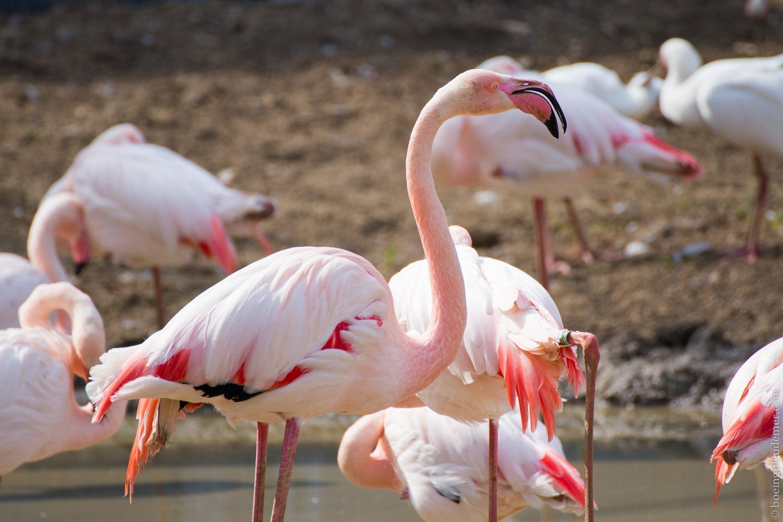 Parc Zoologique de Paris - Flamants roses