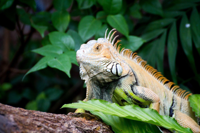 Parc Zoologique de Paris - Iguane
