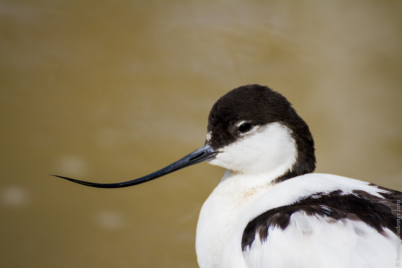 Parc Zoologique de Paris - L'avocette, un oiseau élégant
