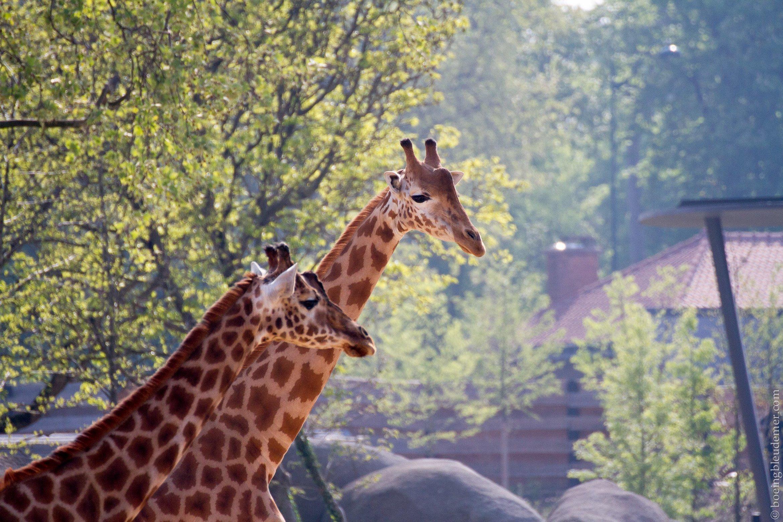 Parc Zoologique de Paris - Le troupeau de giraffes