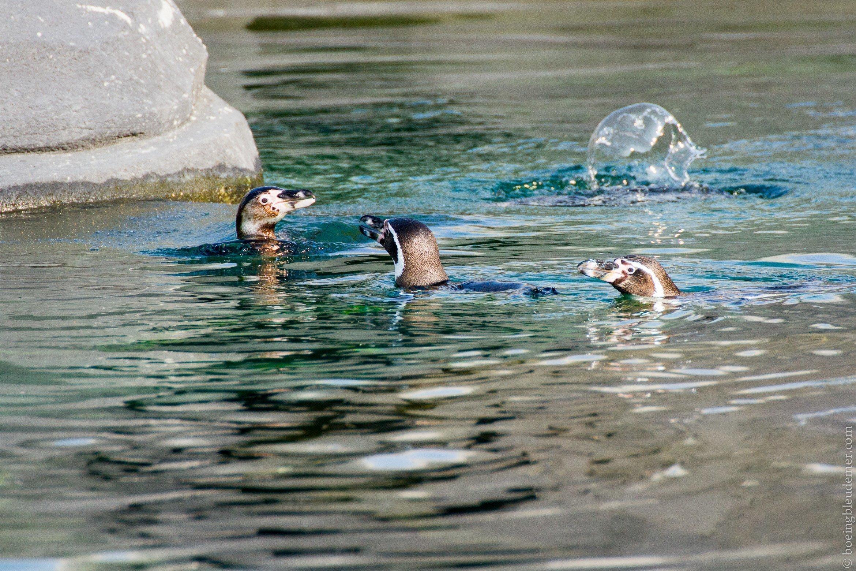 Parc Zoologique de Paris - Manchots de humbolt