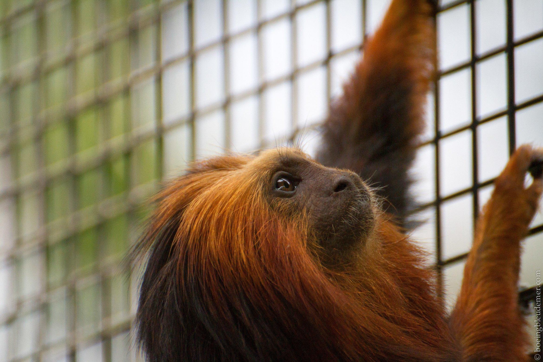 Parc Zoologique de Paris - Tamarin lion à tête dorée