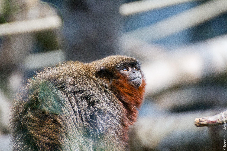 Parc Zoologique de Paris - Titi roux