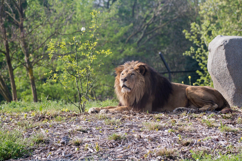 Parc Zoologique de Paris - Un lion sans ses lionnes