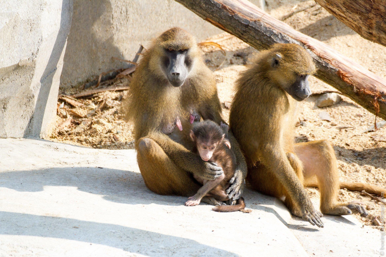 Parc Zoologique de Paris - Une famille de babouins de Guinée