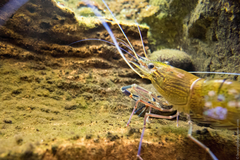 Aquarium Tropical de Paris: crevette