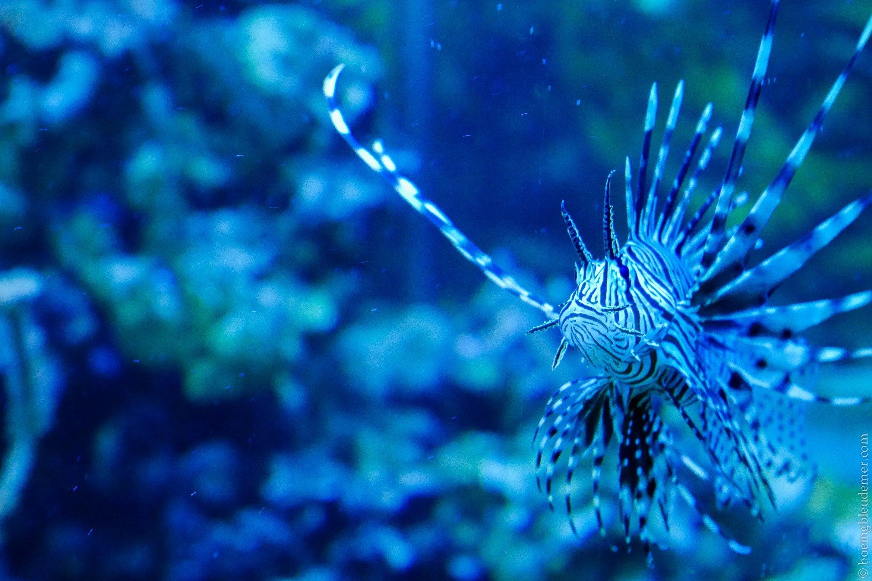 Aquarium Tropical de Paris: poisson scorpion