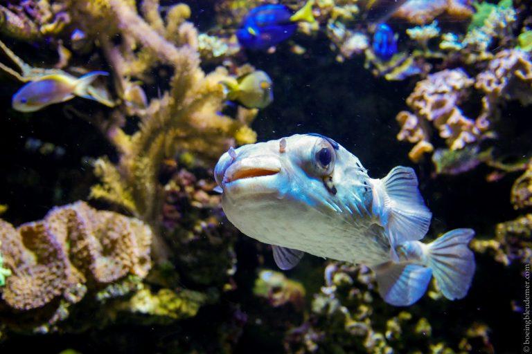 Aquarium Tropical de Paris: fugu