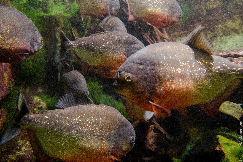 Aquarium Tropical de Paris: pirahanas