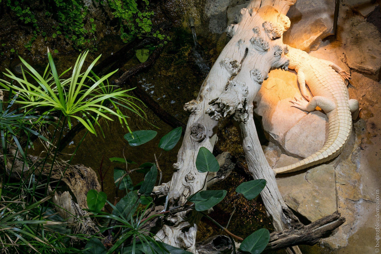 Aquarium Tropical de Paris: crocrodile albinos