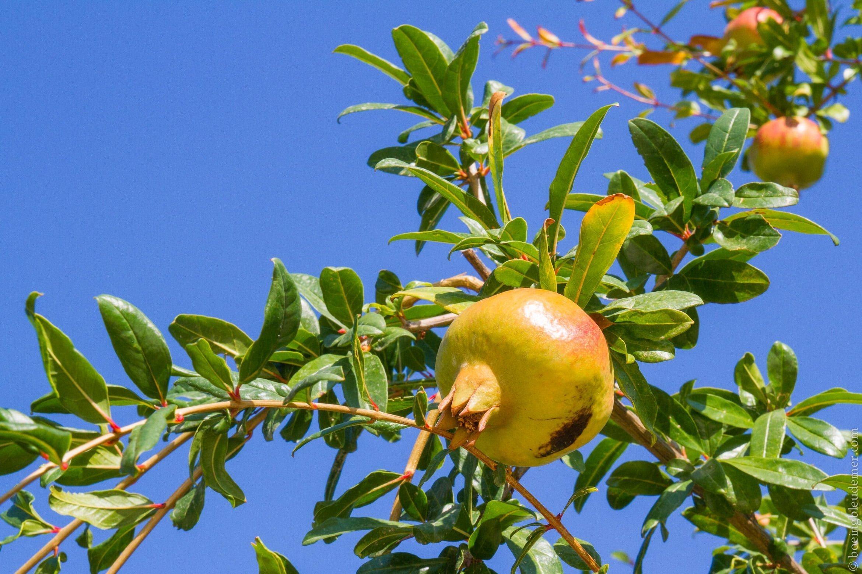 Pommegrenande dans le jardin de l'hôtel