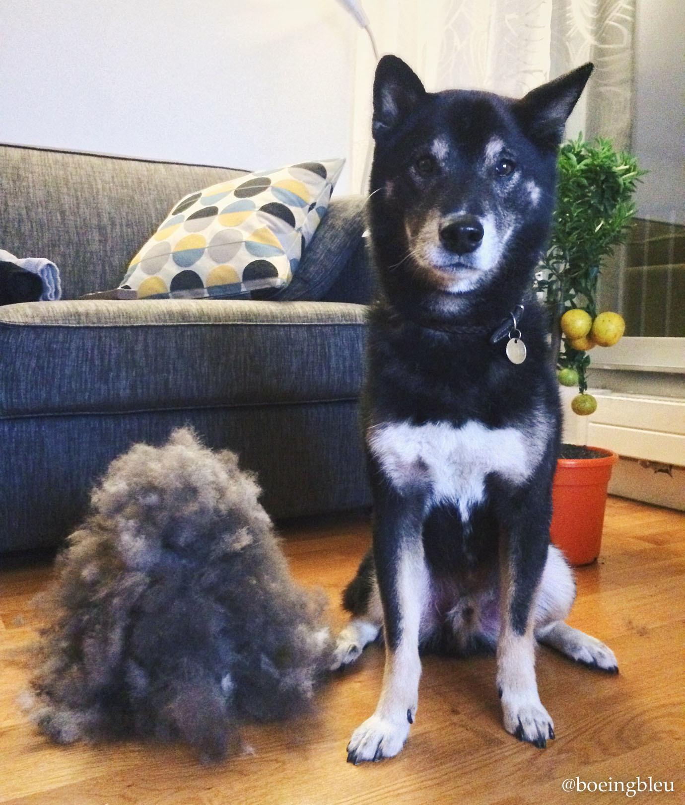 Akira et son duvet de mue