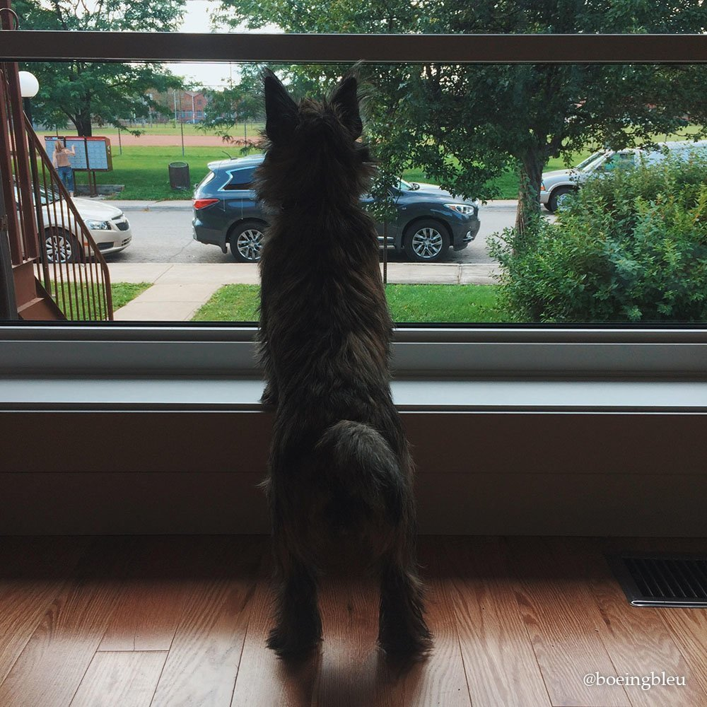 Flavie, le Cairn Terrier