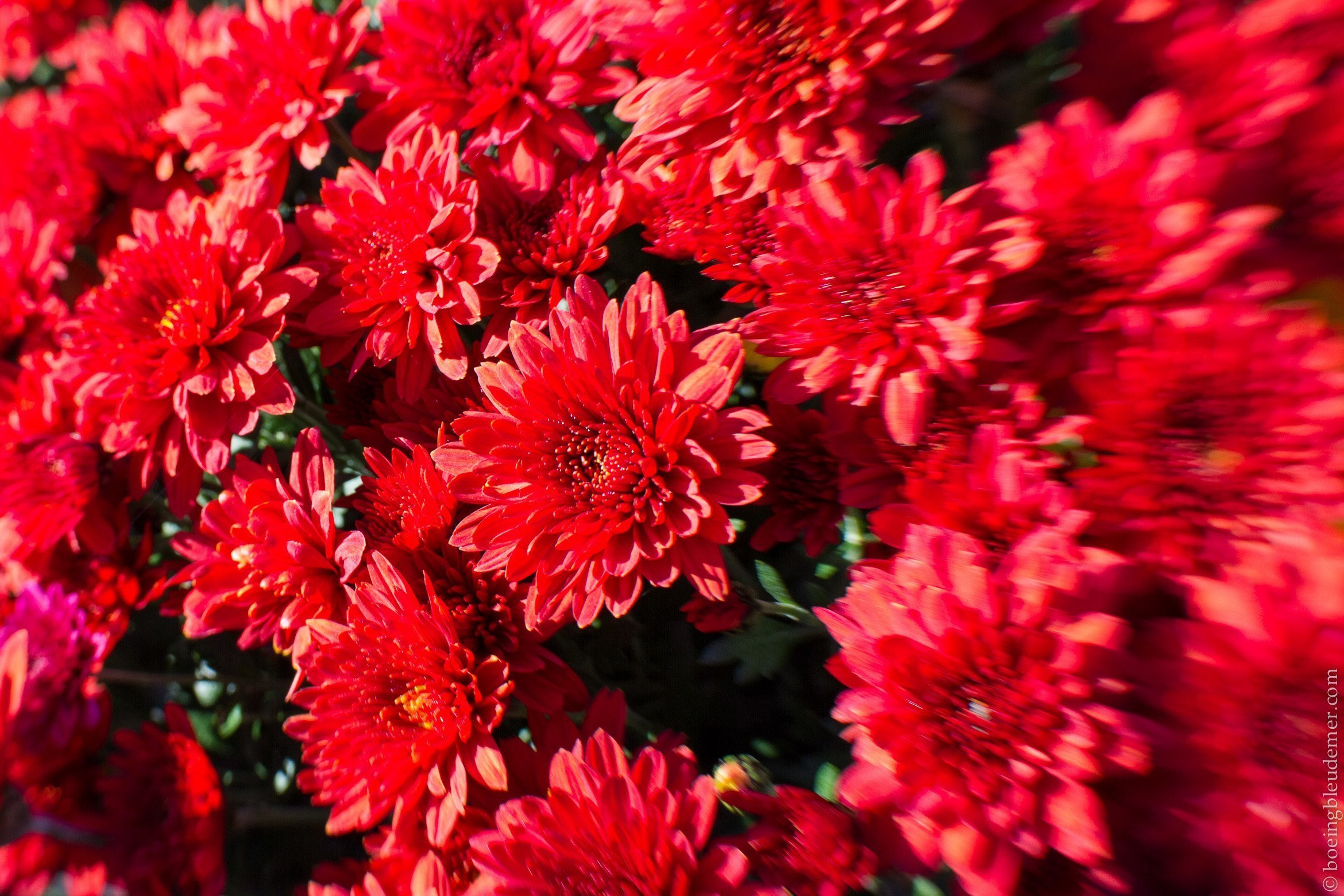 Chrysanthemes du 1er novembre