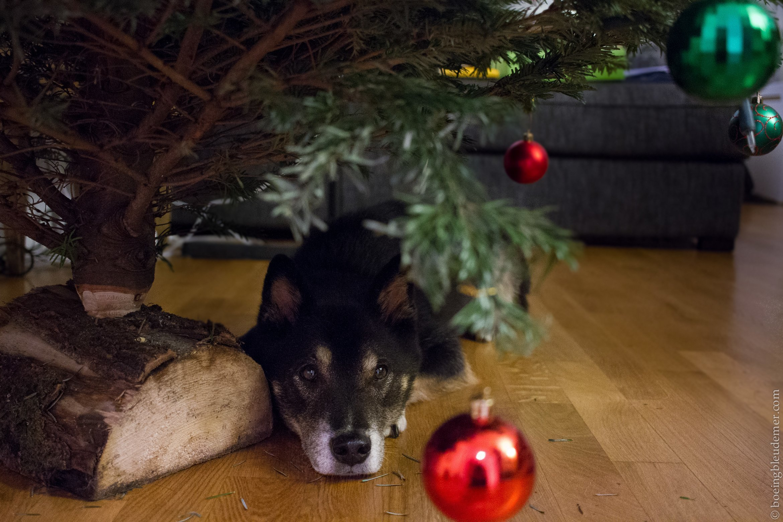 Akira chien de Noël