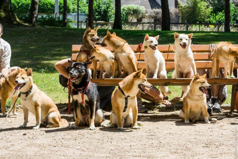 Rencontre Shiba Inu - tous les chiens