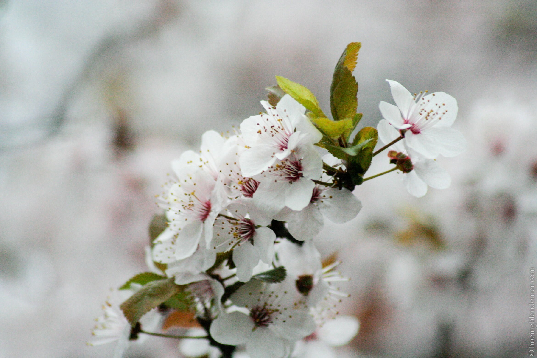 Printemps parisien: fleurs de cerisiers