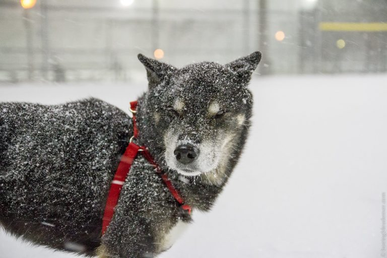 Akira dans la une tempête de neige
