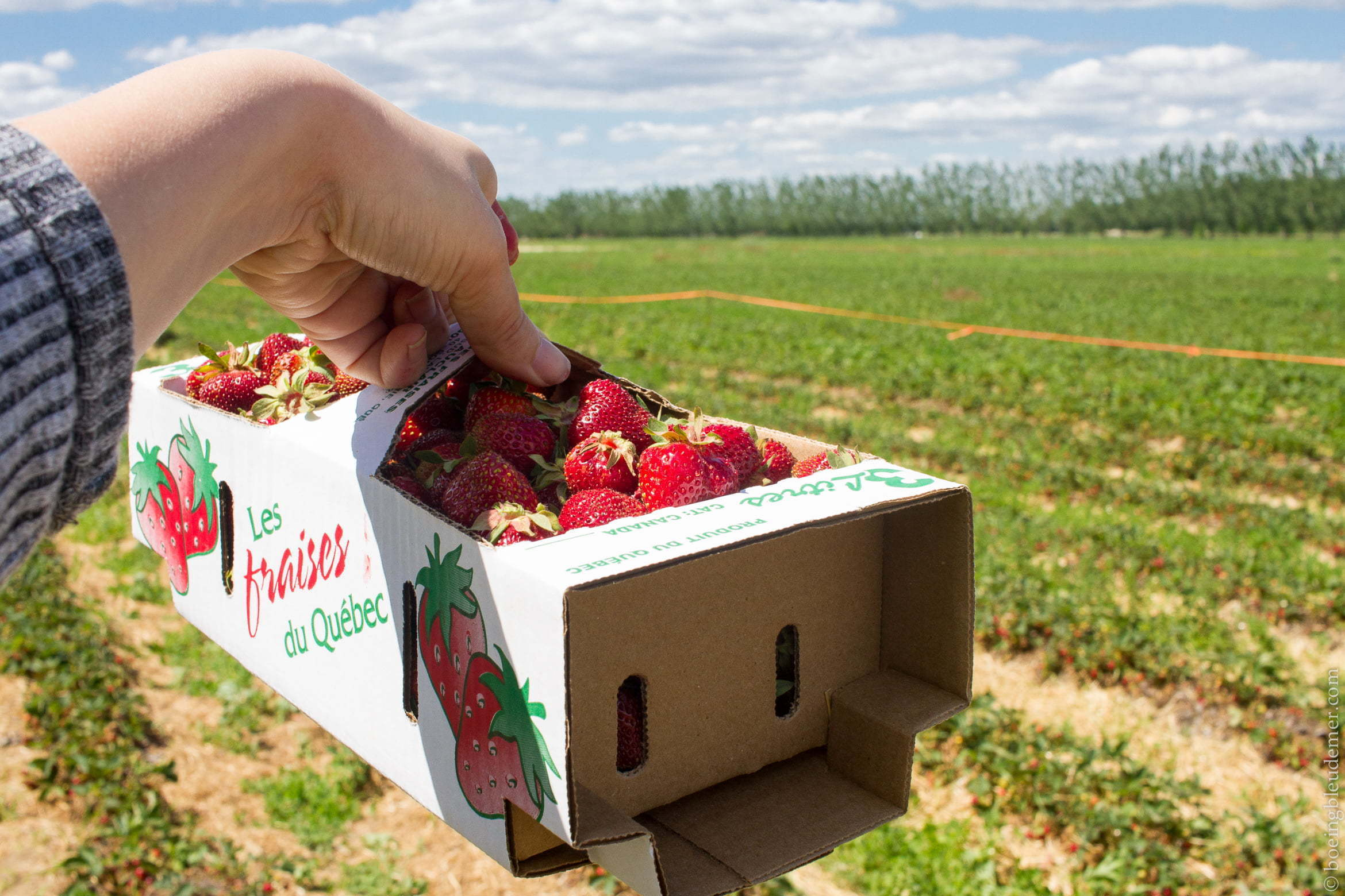 Pick Your Own Strawberries Close to Montreal